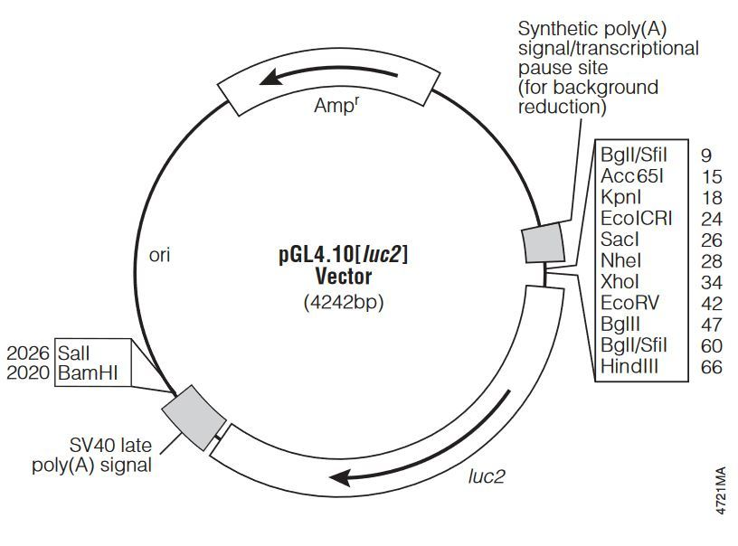 Plasmid constructs in to pUC19?
