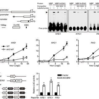 (PDF) EIN3 and ORE1 Accelerate Degreening during Ethylene