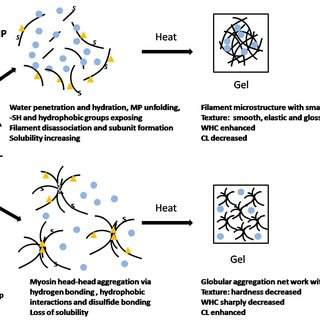 Proposed mechanism on the effects of HHP on the