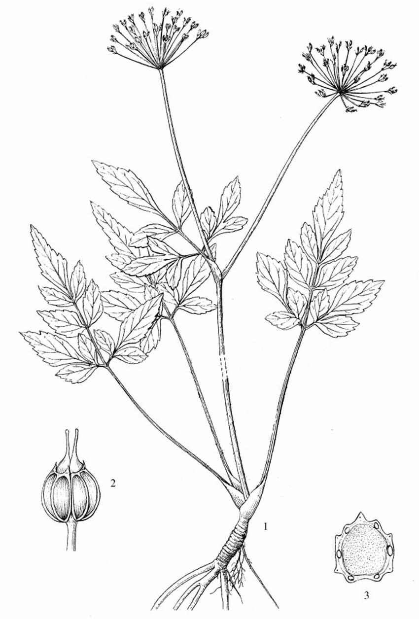 Illustration of Pternopetalum latipinnulatum s comb. et