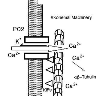 Functional role of KIF3A in PC2 channel function in