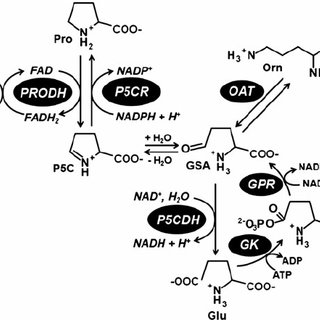 Potential functions of proline and proline metabolism in