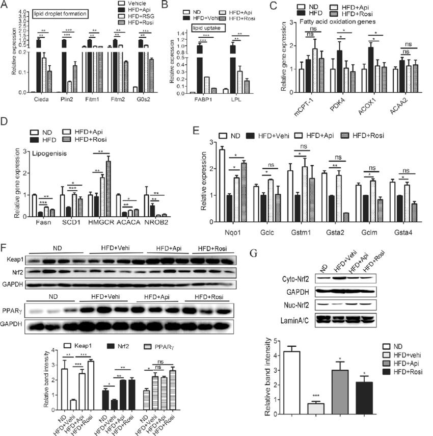 Api attenuates the oxidative stress and lipid metabolism