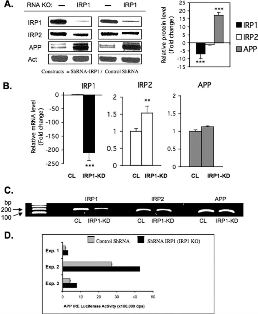 Stable knockdown of IRP1 increases the expression of APP
