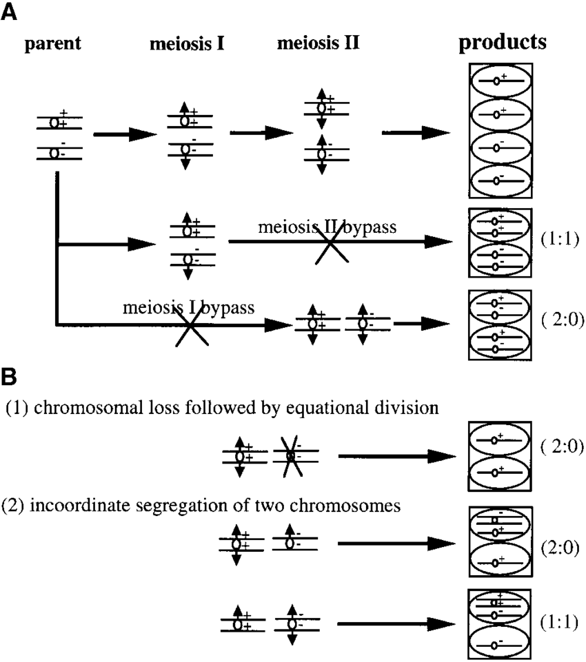 medium resolution of  schematic diagram showing the expected segre