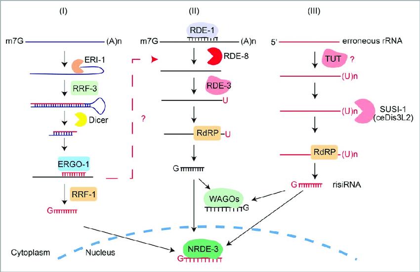 the biogenesis pathways of