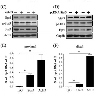 Estrogen regulation on LIF and STAT3 in mouse uterus. A