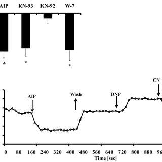 (PDF) Ca2+/Calmodulin-Dependent Protein Kinase II (CaMKII