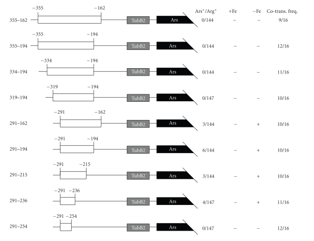 5′ and 3′ deletion analysis of the FTR1 −355/−162 promoter