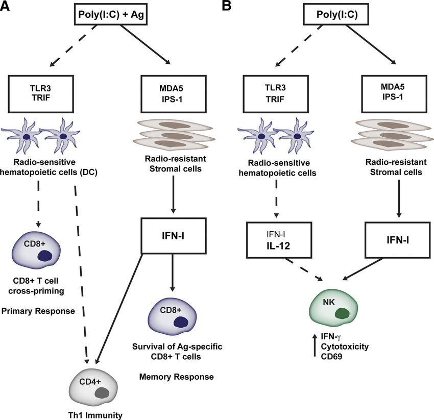 Poly(I:C) promotes T cell responses and NK cell activation