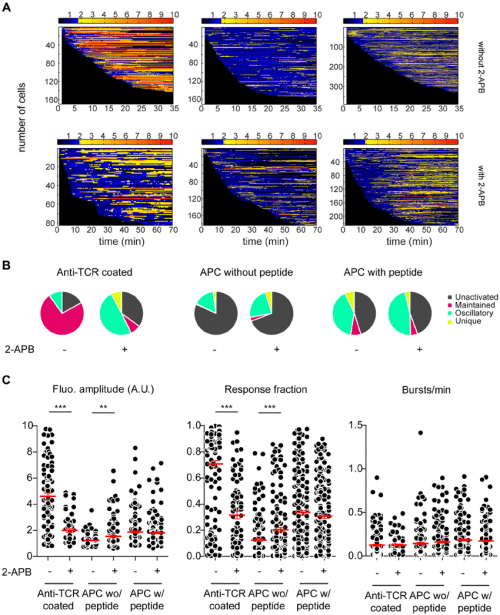 small resolution of naive cd4 t cells display mainly intracellular calcium oscillations upon antigenic challenge a
