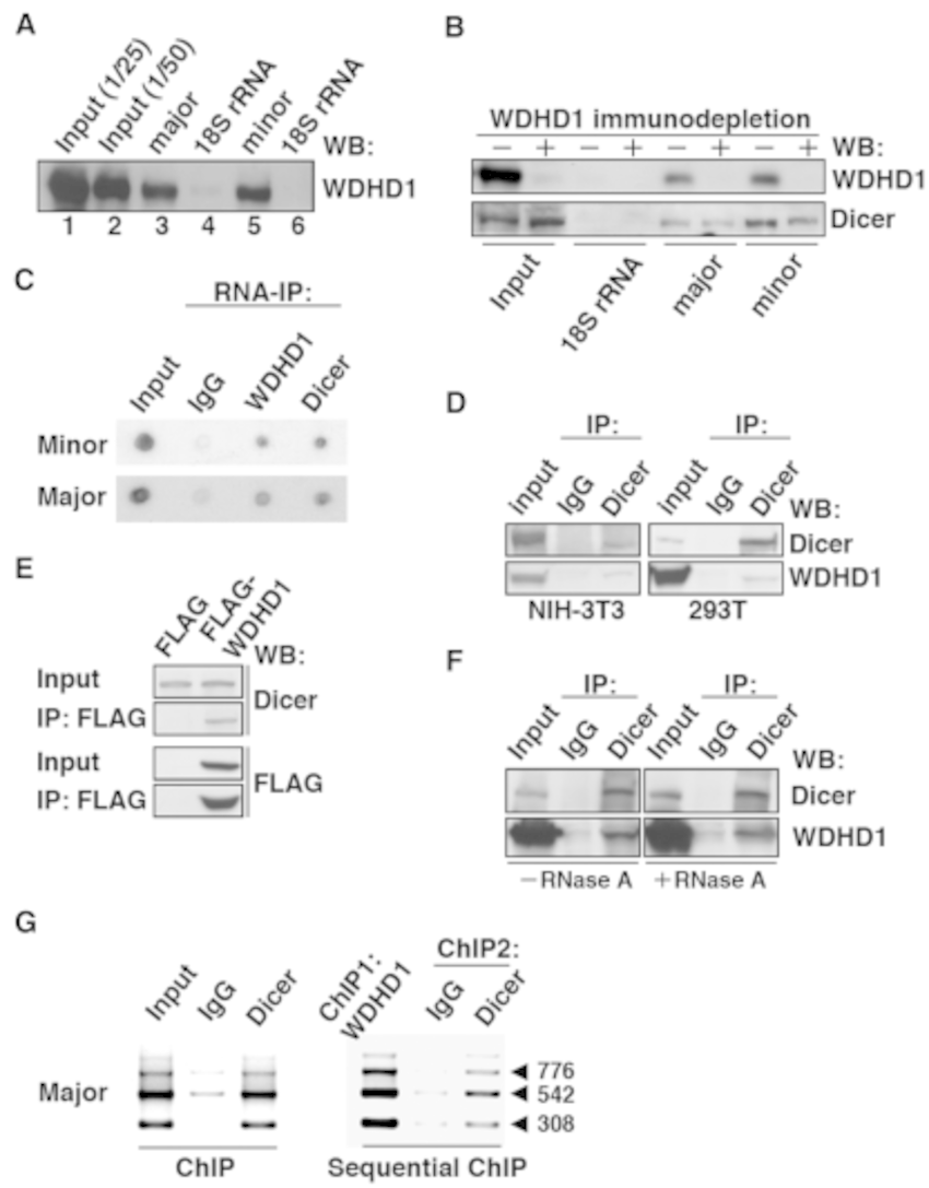 WDHD1 associates with the centromere-encoded RNA