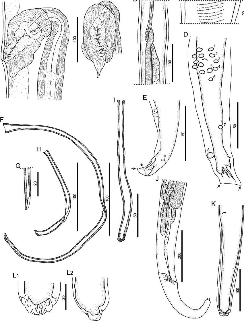 hight resolution of a vagina lateral a1 and ventral