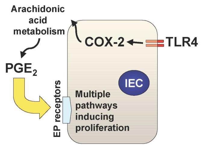 The Tlr4 Cox 2 Pge2 Axis In The Setting Of Intestinal