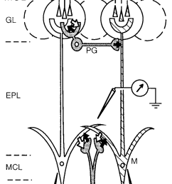 schematic diagram illustrating the basic neuronal circuit of the main olfactory bulb and the arrangement of [ 776 x 1576 Pixel ]