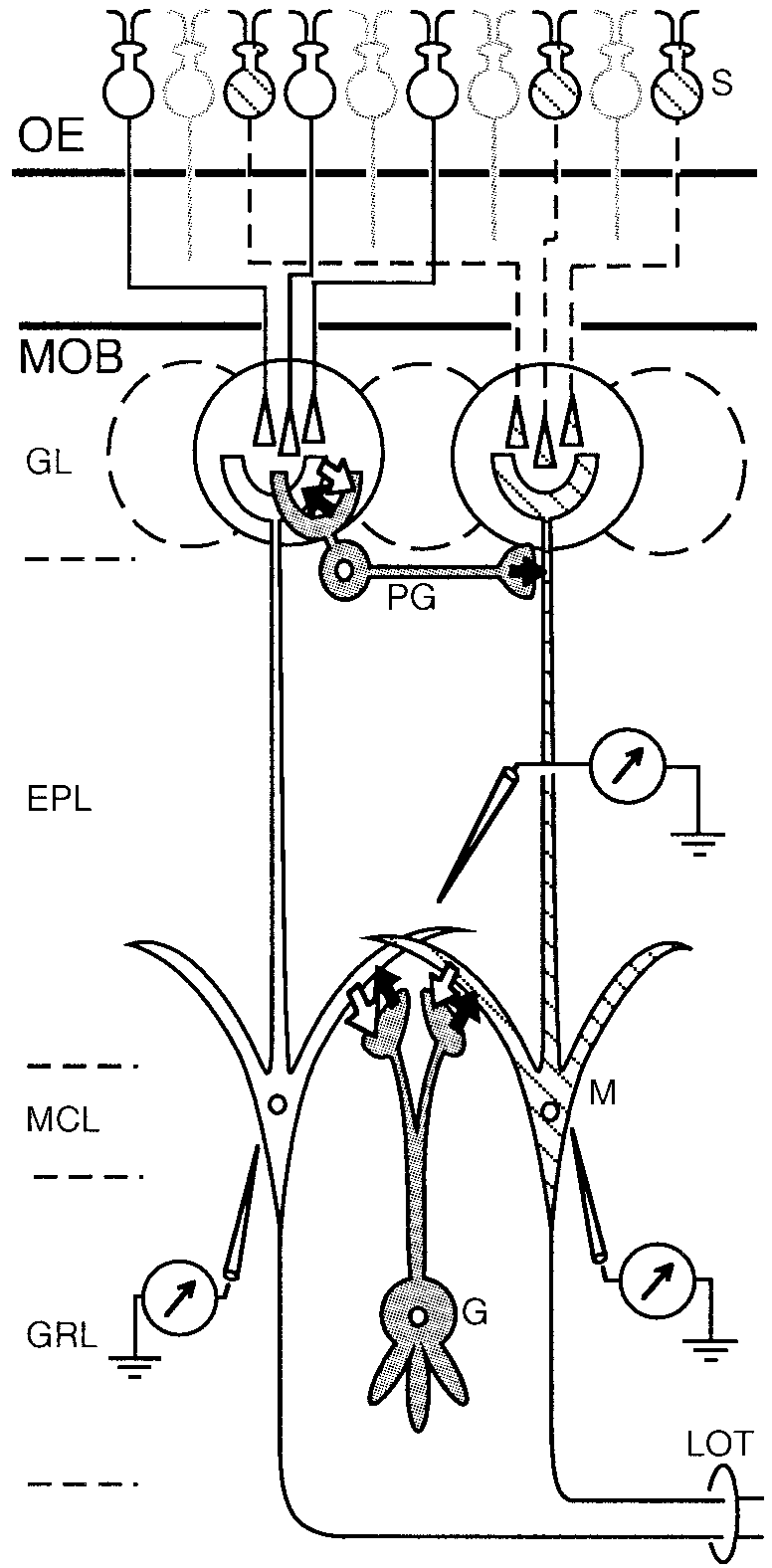 hight resolution of schematic diagram illustrating the basic neuronal circuit of the main olfactory bulb and the arrangement of