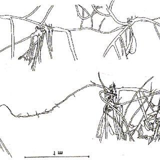 Morphology of lpomoea carnea subsp. fistulosea. (after