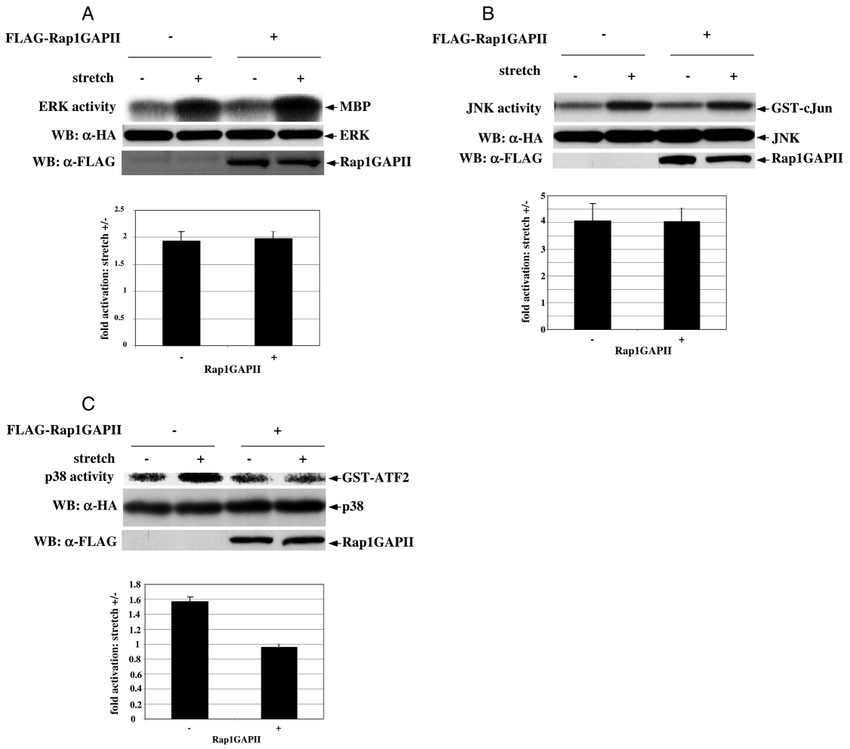 Effects of Rap1GAPII on the stretch-initiated activation