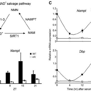 The circadian clock controls Nampt gene expression. ( A