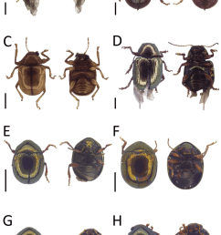 dorsal and ventral habitus of leaf beetle species a basilepta sp 3 [ 850 x 1408 Pixel ]