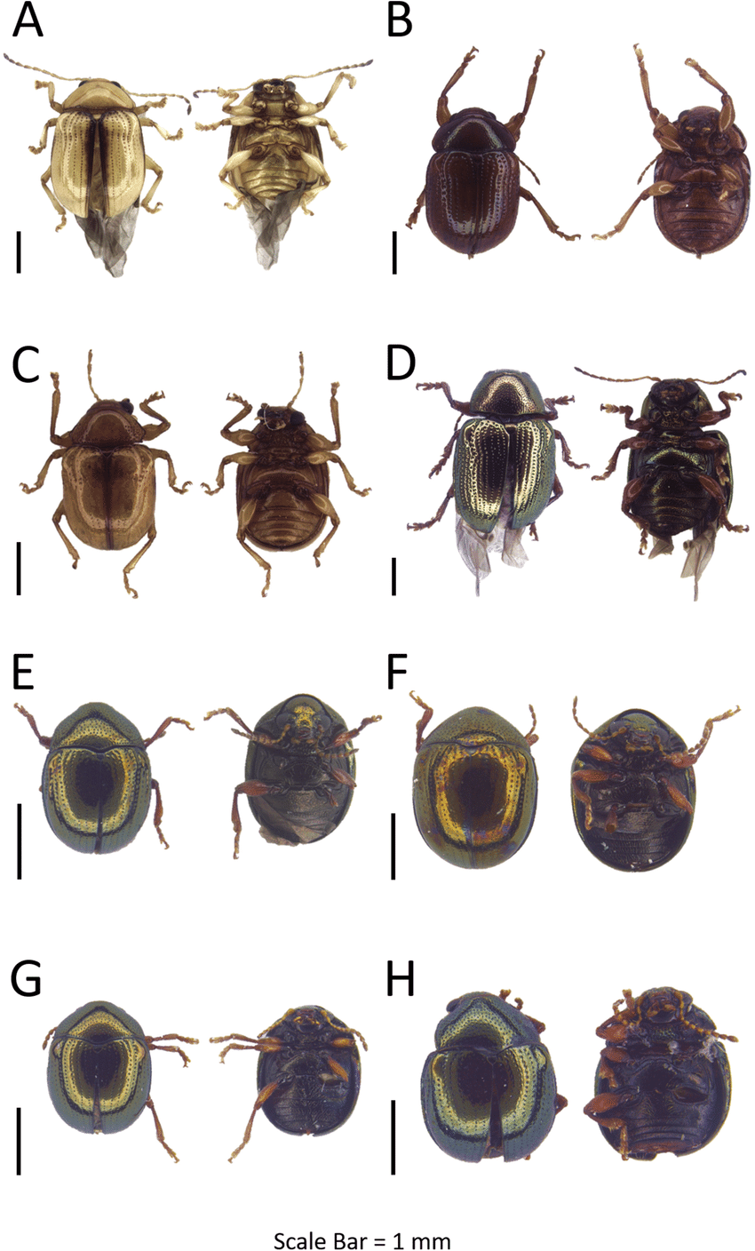 medium resolution of dorsal and ventral habitus of leaf beetle species a basilepta sp 3
