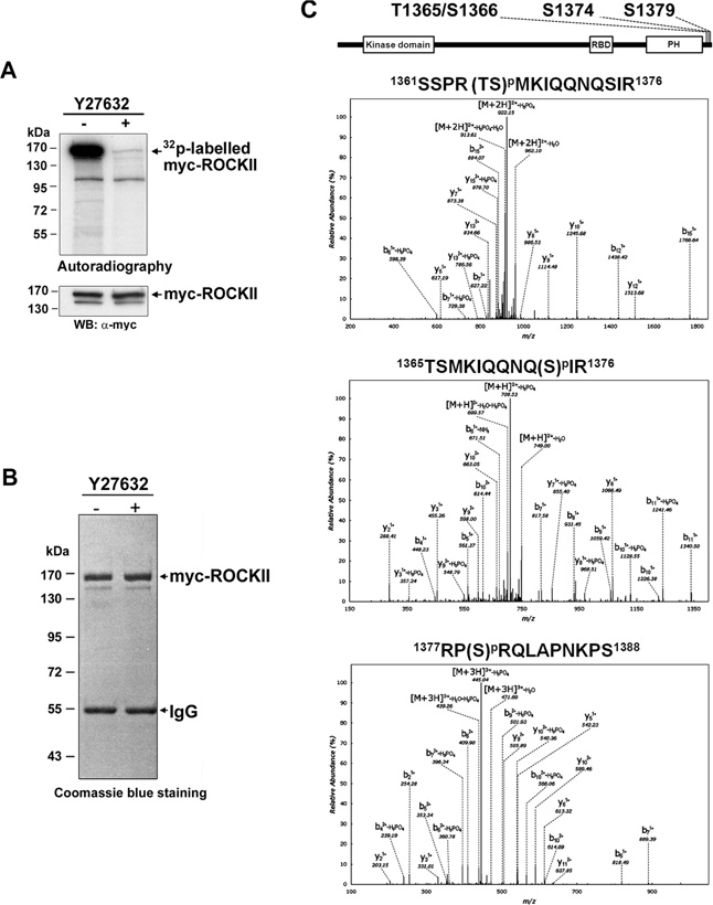 Identification of the autophosphorylation sites of ROCKII