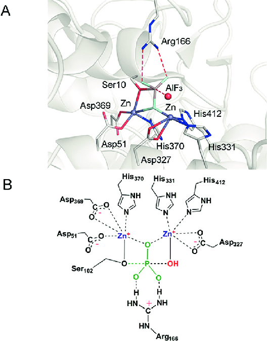 A) Structure of the catalytic center for alkaline