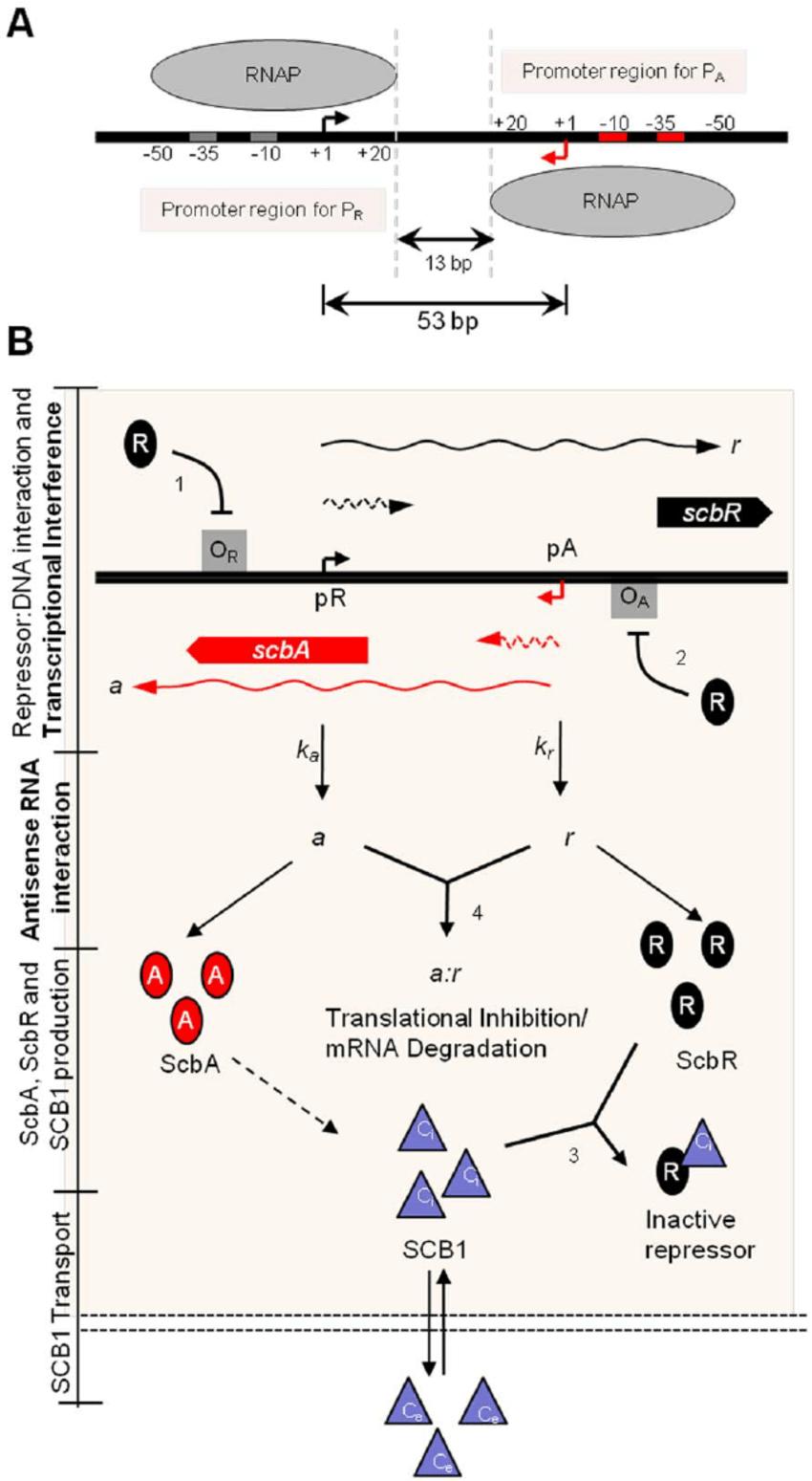 Convergent transcription in the scbA-scbR gene regulatory
