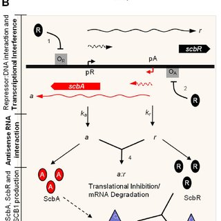 (PDF) Convergent Transcription in the Butyrolactone