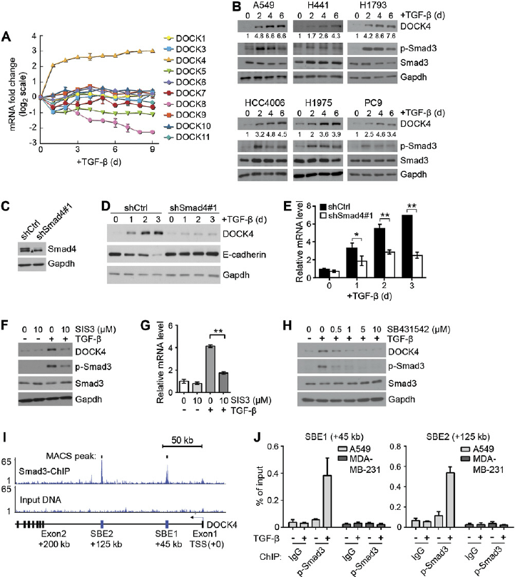 TGF- b induces DOCK4 expression in human lung ADC cells