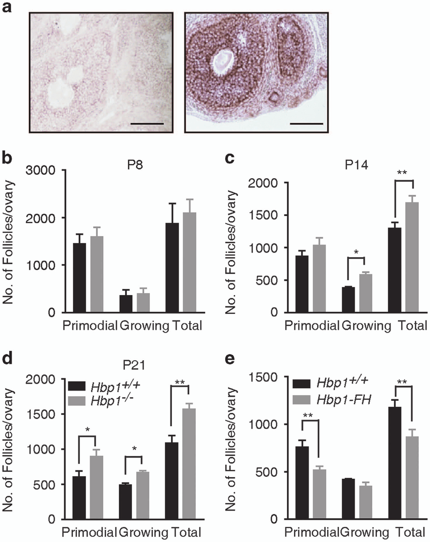 hight resolution of numbers of ovarian follicles at different developmental stages a in situ hybridization of