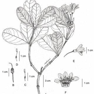 (PDF) Rhododendron longipedicellatum (Ericaceae), a new
