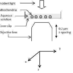 Trace of the light passing through a mitochondrion. A