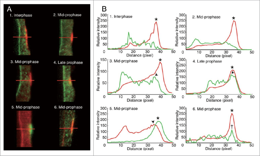 onion root tip diagram wiring for pioneer car stereo deh p3500 spatio temporal differences between rangap band and mt in cells a immunofluorescence images of ppb region midlongitudinal optical