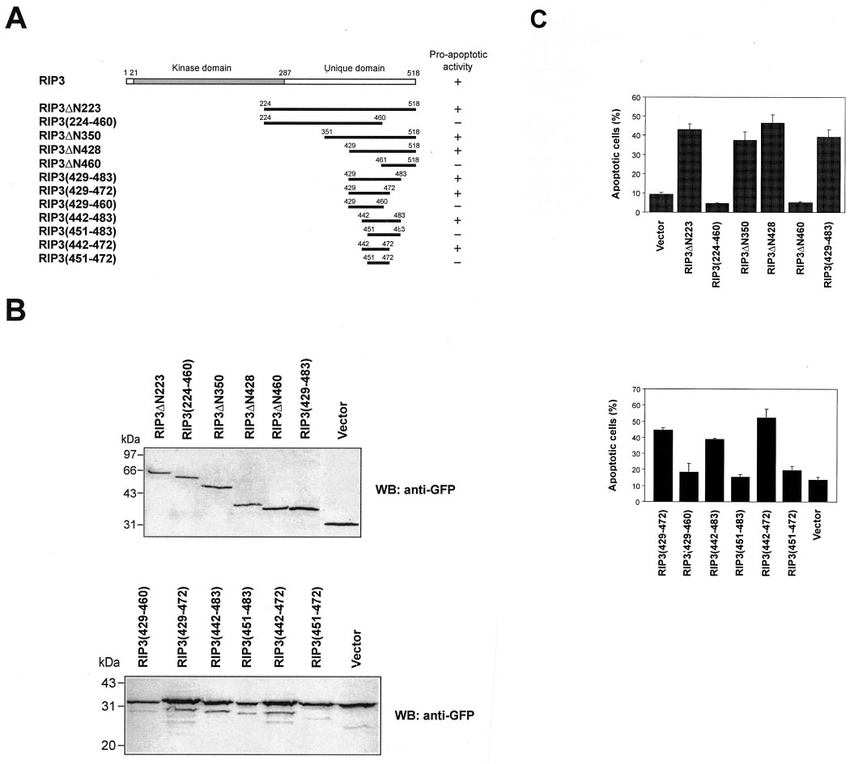 FIG. 1. Mapping a minimal region in RIP3 for its apoptosis