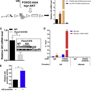 UT2 Interacts with mTORC2/RICTOR and Regulates Their