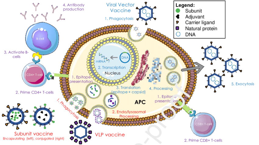 Mechanism of action of different viral vaccine candidates. Subunit... | Download Scientific Diagram