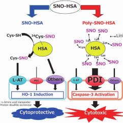 In Vivo Gene Therapy Diagram 2017 Silverado Radio Wiring Novel Nano Epr Enhancer: S-nitrosated Human Serum Albumin Dimer... | Download Scientific