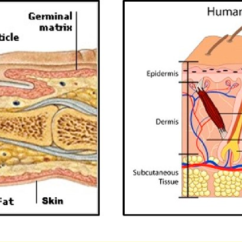 Skin Cross Section Diagram Ge Refrigerator Wiring Defrost Heater Human Finger Structure A 23 And B