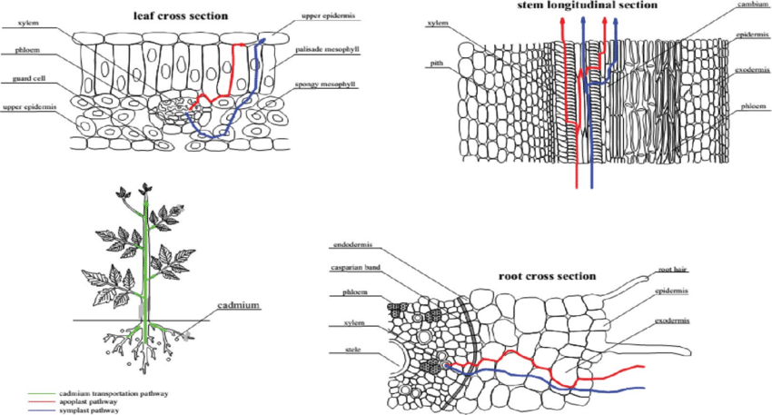 The Diagram Shows A Cross Section Of Leaf From Plant That