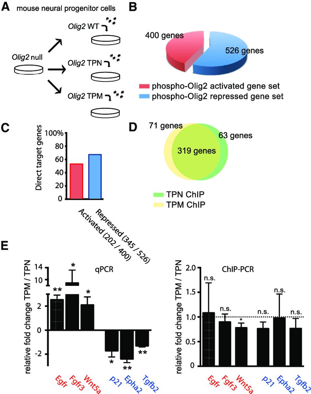 hight resolution of olig2 phosphorylation regulates gene expression but not dna targeting download scientific diagram