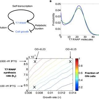 T7 RNAP circuit. (A) T7 RNAP enhances its own