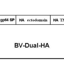 Schematic representation of BV-Dual-HA structure. The gene