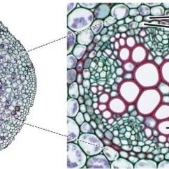 Dicot Leaf Labeled Diagram 3 Way Switch Ladder Deleted   Researchgate