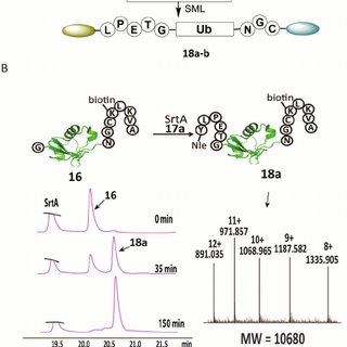 (PDF) Butelase-mediated synthesis of protein...