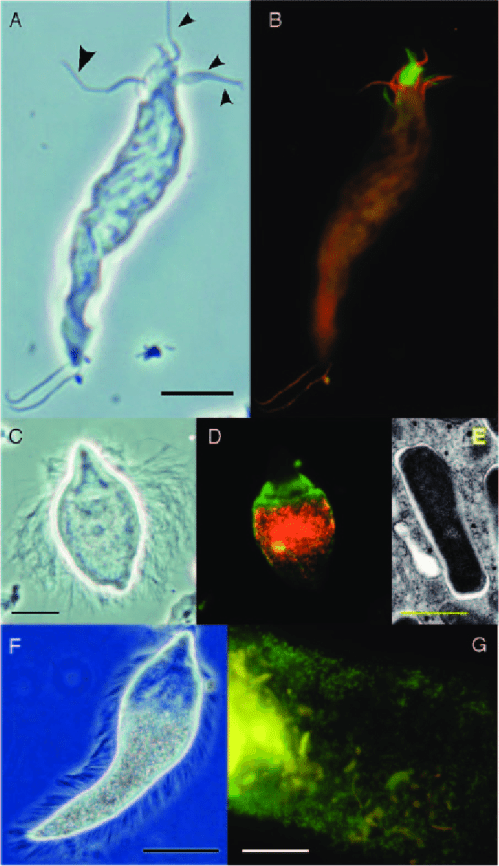 small resolution of ecto and endosymbionts of flagellated protists in the termite gut a phase contrast