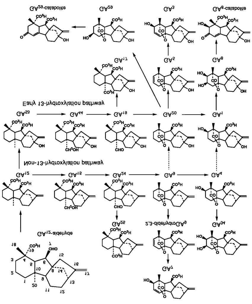 hight resolution of gibberellin biosynthetic pathway from ga12 aldehyde download scientific diagram