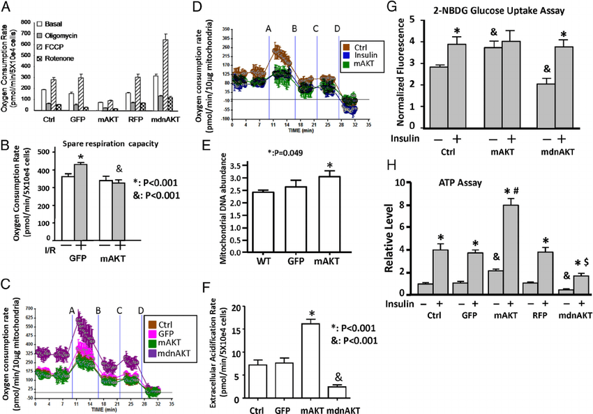 The effect of mitochondrial AKT1 signaling on glycolytic