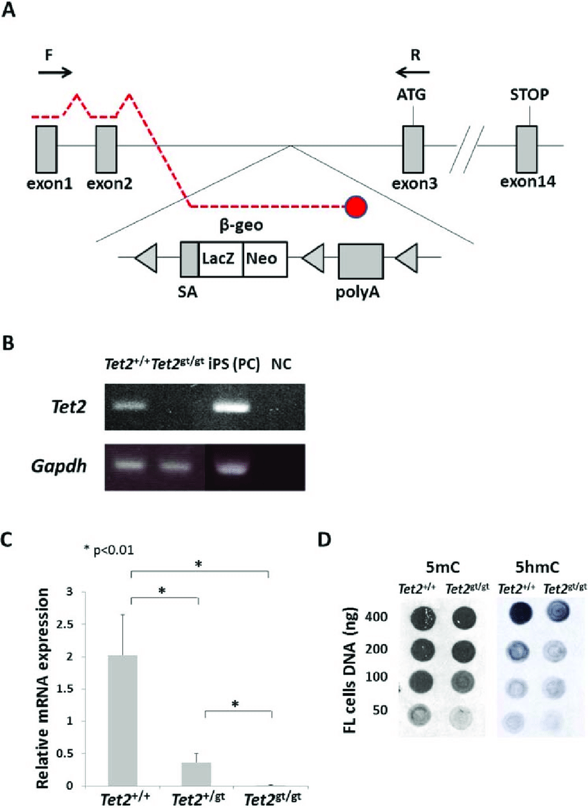 hight resolution of schematic illustration of tet2 gene trap allele and validation of tet2 ablation