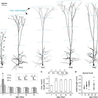 Developmental changes in the morphology of apical dendrite